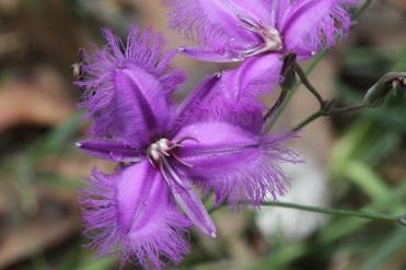 Fringe Lily