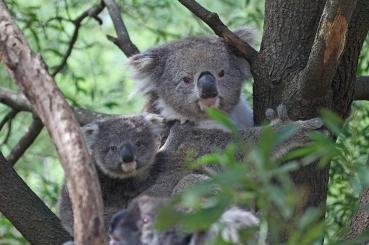 Koala with young