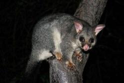 Brushtailed Possum - Ian Moodie