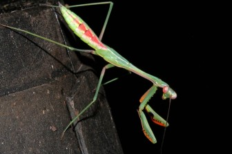 Praying Mantis – Ian Moodie