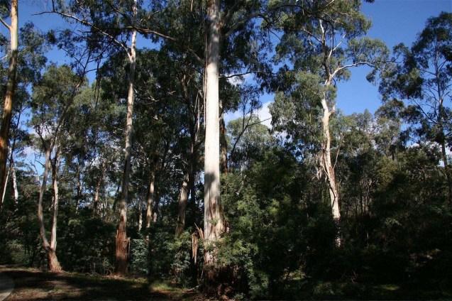 Mullum Mullum valley Eucalyptus – Ian Moodie