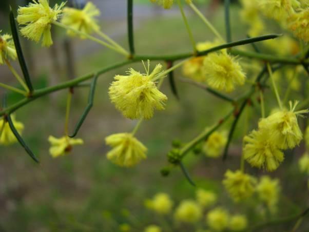 Spreading Wattle (Accacia Genistifolia) – Sue Bendel
