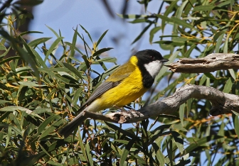 Golden Whistler (male) – Ian Moodie