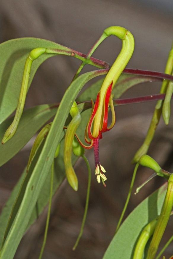 Muellerina eucalyptoides-I.Moodie_IMG_9938